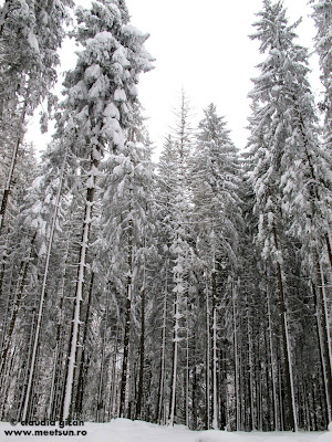 peisaj de iarna - padurea de brazi