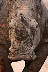 Muddy Rhino, South Africa