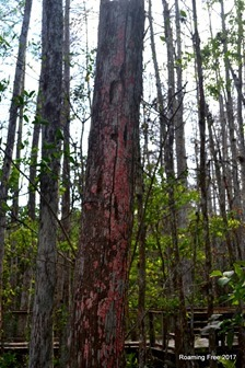 Scarlet Lichen