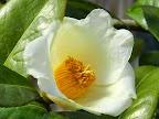 淡黄色 一重 短い筒咲き 肉厚 短い筒しべ 小輪
