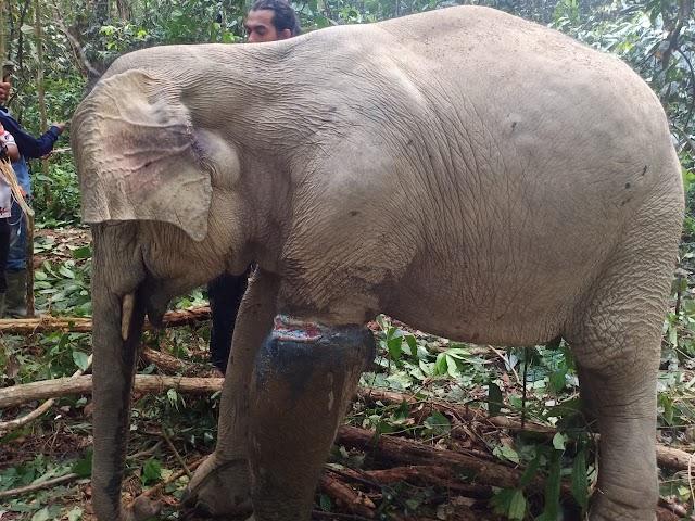 Petugas BKSDA Evakuasi Gajah Terjerat