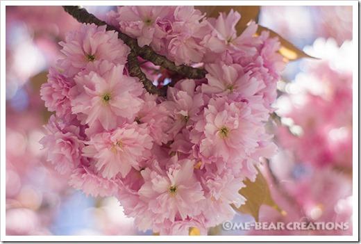 Sakura_lush