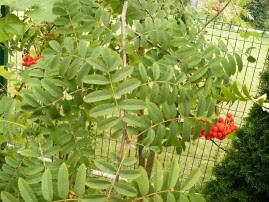 Jarząb pospolity liście