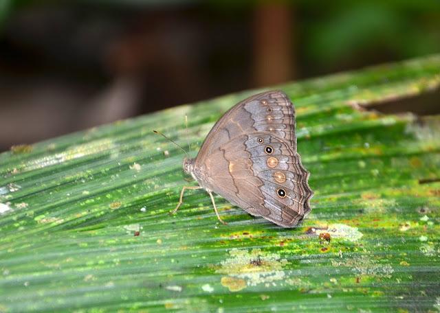 Pseudodebis valentina  CRAMER, 1779. Crique Tortue, près de Saut Athanase (Guyane). 22 novembre 2011. Photo : M. Belloin