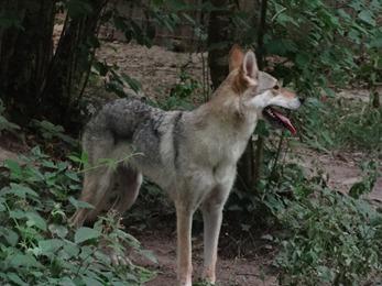 2018.07.19-015 chien-loup tchécoslovaque