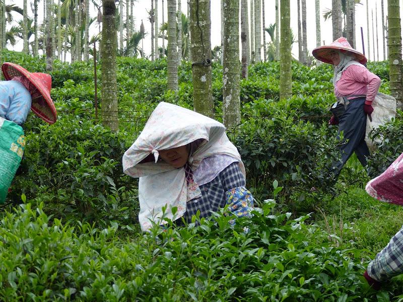 Puli, Nantou county, cueillette de thé - P1050536.JPG