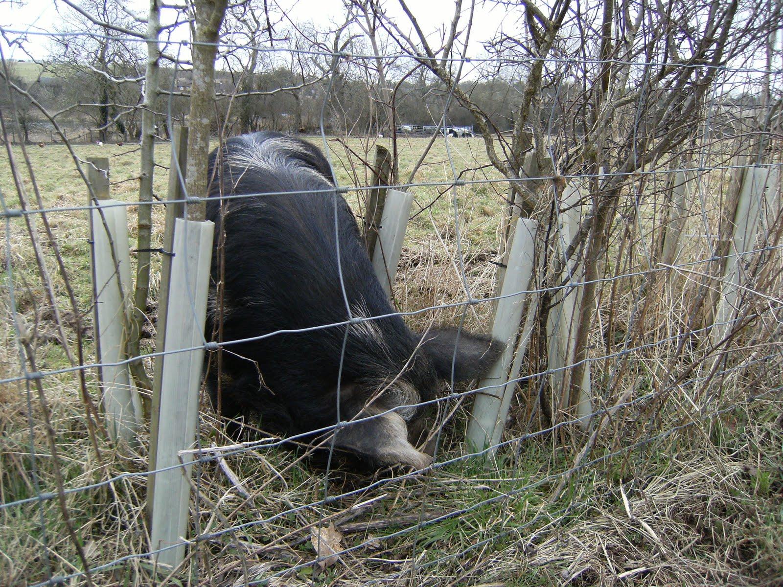 DSCF0274 Farm pig near Bere Mill