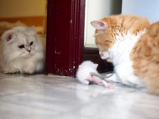 20120908 台中家中的三隻貓,現在祇剩門內的 Miu Miu 陪我們了