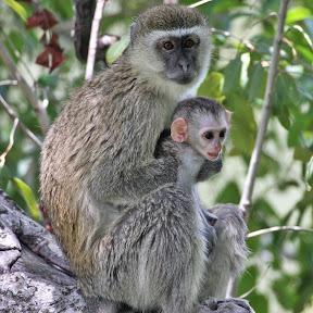 Vervet Mother and Baby 4, Botswana