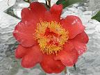 朱紅色地 白斑入り 八重咲き 中輪