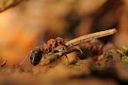 HO HISSE Trop facile pour une fourmis ! Et dire que la fourmilière a été construite aiguille après aiguille...