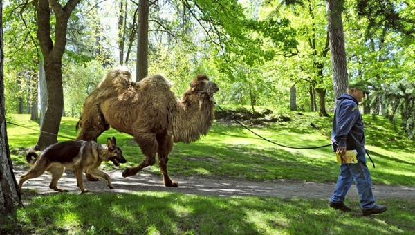 camel_on a walk