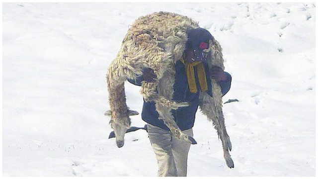A farmer in the Southern Andes carries a dead alpaca that was killed by an anomalous cold wave in July 2016, with temperatures as low as -23°C. Photo: Correo