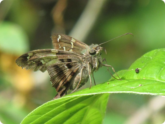 Long-tailed Skipper Urbanus proteus Butterfly (3)