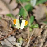 Anthocharis belia euphenoides (STAUDINGER, 1869), mâle. Plateau de Coupon (531 m), Viens (Vaucluse), 8 mai 2014. Photo : J.-M. Gayman