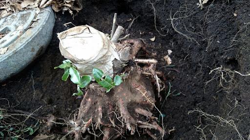 [写真]なかば掘り出された切り株