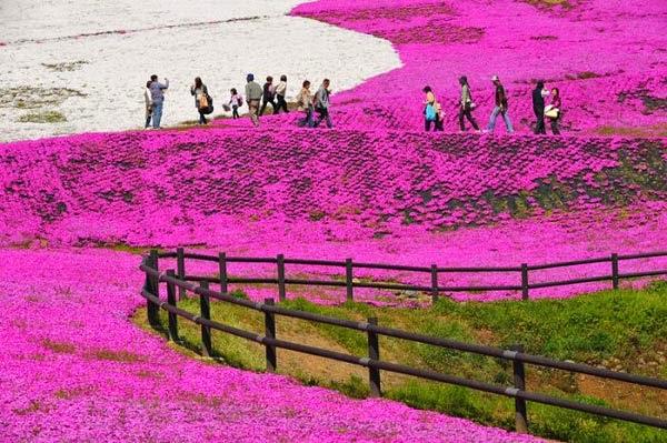 hồng rực góc trời hoa chi anh
