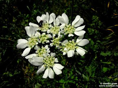 Rușinarița (Orlaya Grandiflora