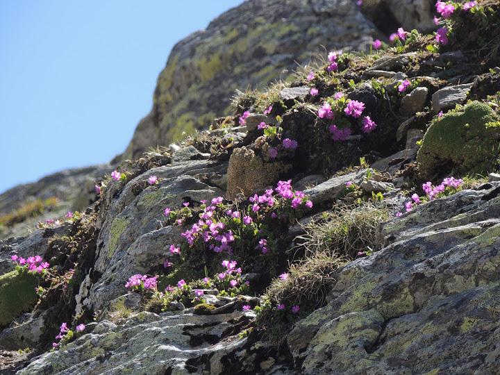 Melige sleutelbloem op rotsen bij de Sint-Bernardspas (Johan den Boer)