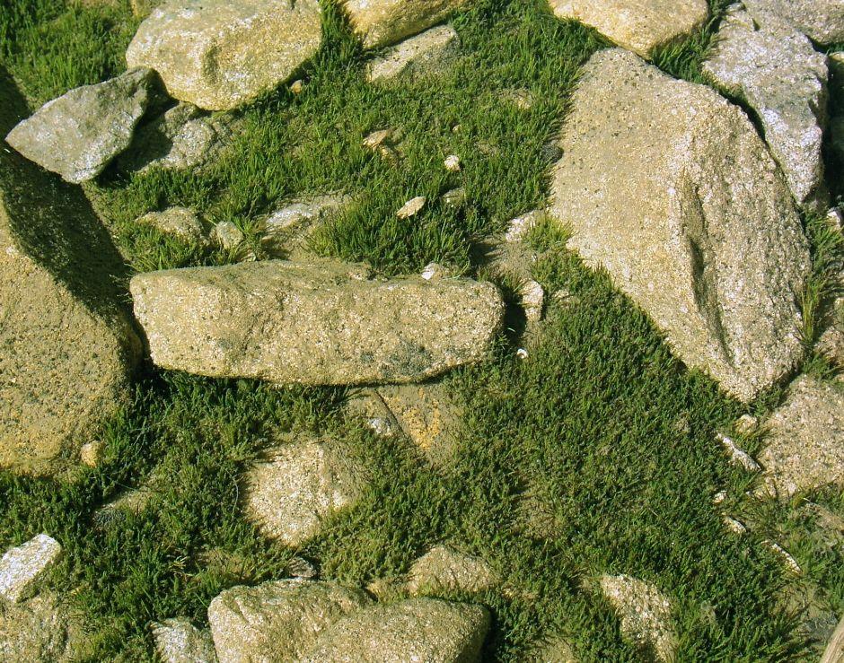 Полушник озерный (Isoetes lacustris)