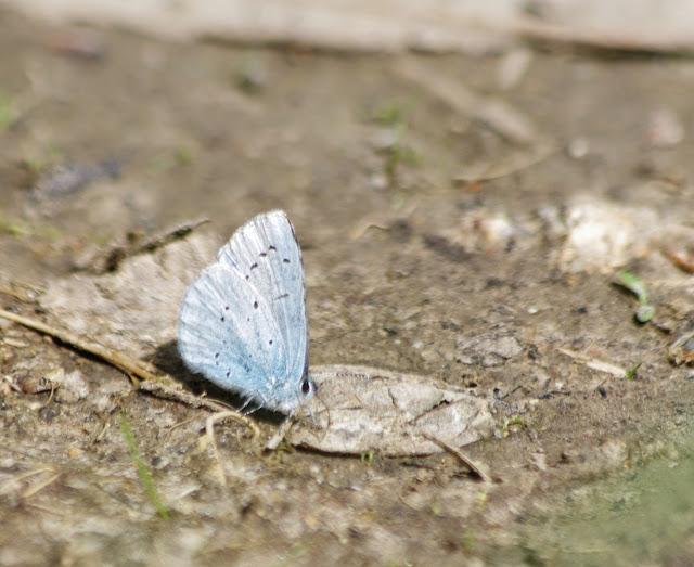 Celastrina argiolus (LINNAEUS, 1758). Les Hautes-Lisières (Rouvres, 28), 4 mai 2013. Photo : J.-M. Gayman