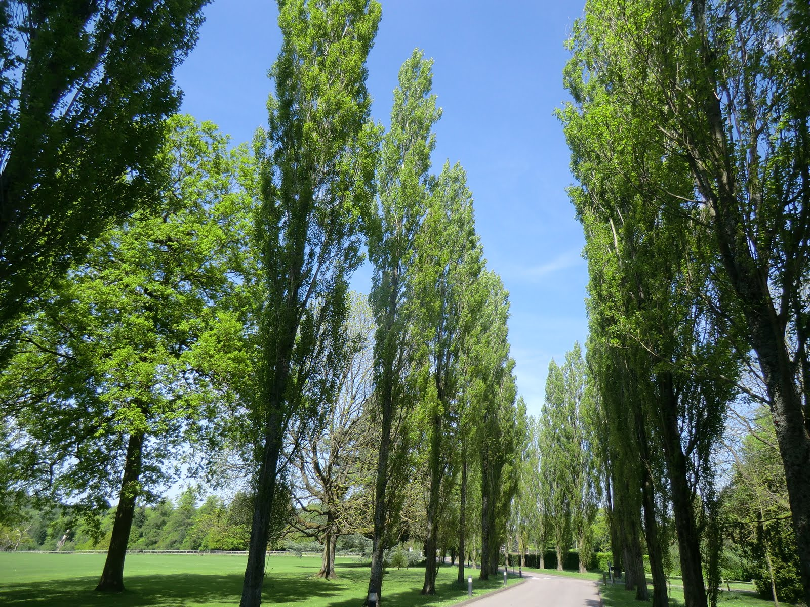 CIMG6810 Avenue of poplars, Gatton Park