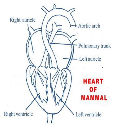 mammal-heart