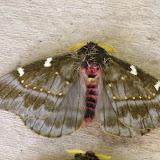 Hemileucinae : Paradirphia semirosea (Walker, 1855) ou P. talamancaia Brechlin & Meister, 2010, mâle. Mount Totumas, 1900 m (Chiriqui, Panamá), 21 octobre 2014. Photo : J.-M. Gayman