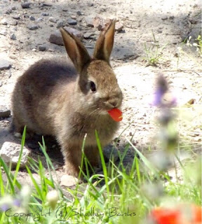 European Rabbit.Carassonne. Copyright © Shelley Banks, all rights reserved.
