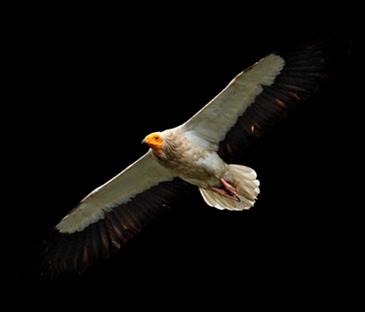 Vulture_01_thumb