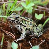 Northern Leopard Frog (Joe Crowley)