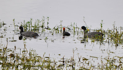 10-Sep-2011 Common Coots Pic: Sujesh S.