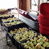 We got 670lbs of apples in all from that one tree!