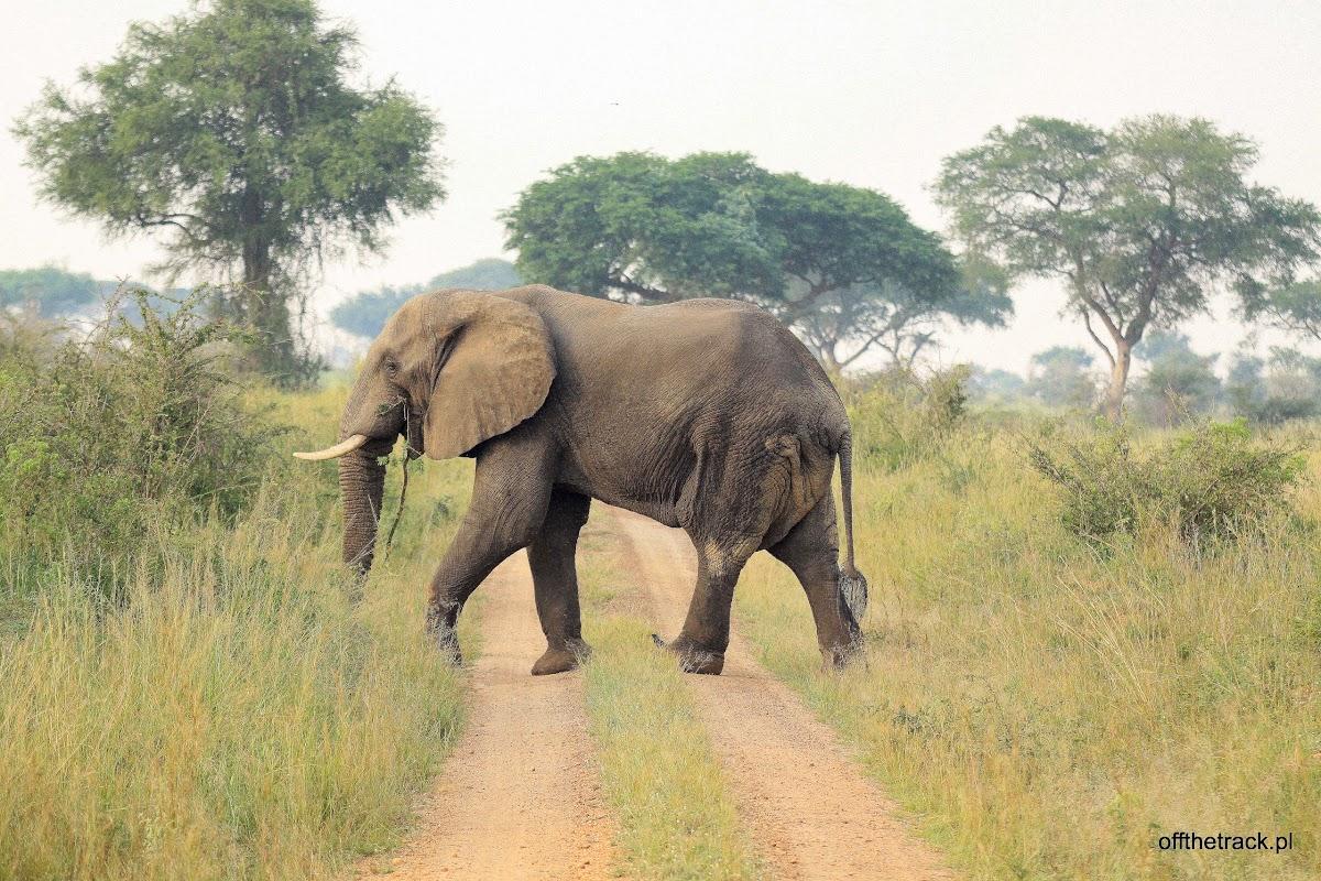 Słoń przechodzi przez drogę, park narodowy Murchison Falls, Uganda