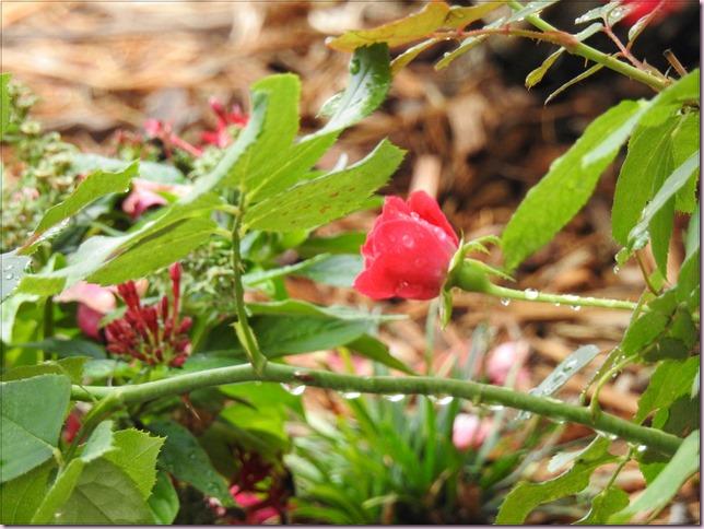 roseDSCN3252