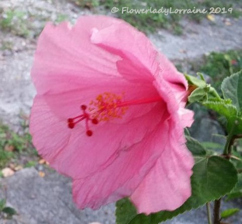 [12-31-pink-hib%5B4%5D]