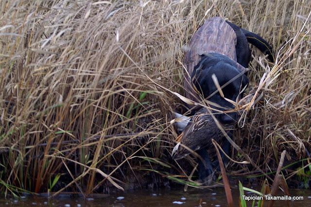 labradorinnoutaja haavakko noutajametsästys labbis labukka metsästys heinäsorsa sorsajahti muuttoparvi marrassorsa