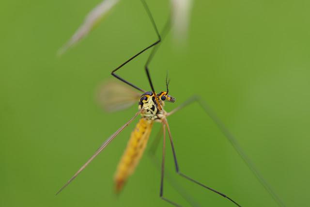 Tipulidae : Tipula paludosa MEIGEN, 1830 (ou bien T. oleracea). Les Hautes-Lisières (Rouvres, 28), 16 juin 2012. Photo : J.-M. Gayman