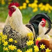 К чему снится курица?