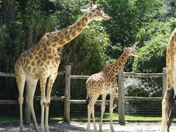 2017.06.17-016 girafes