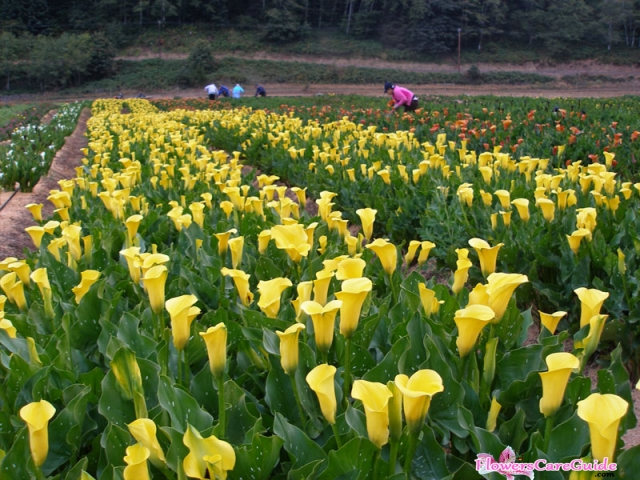 Calla Lilies Turning Yellow Advices:  Causes for yellowing leaves