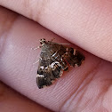 Spotted beet moth