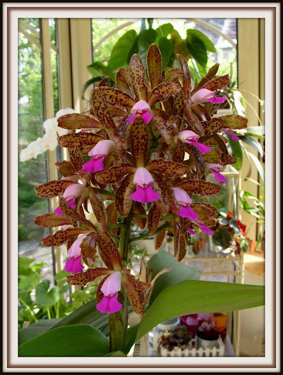 Cattleya tigrina (leopoldii) S1053618