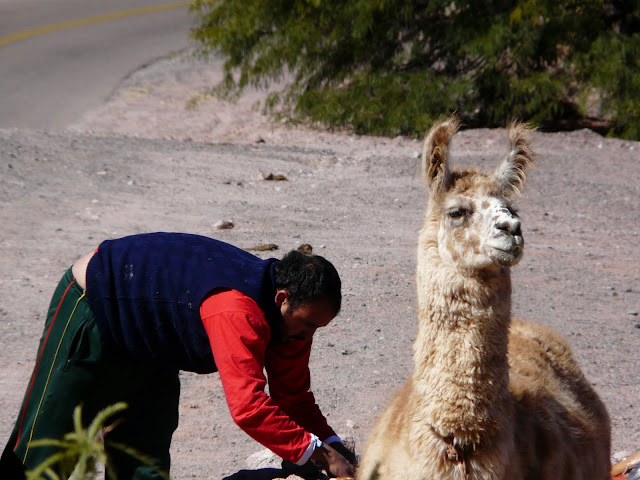 Llamas are most entertaining when they look right at you.