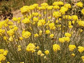 Immortelle commune, Helichrysum stoechas 4.JPG