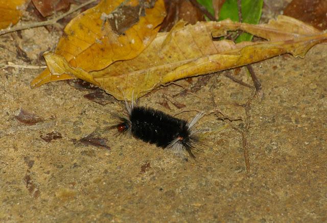 Chenille de Lymantriidae (?). Chemin de Praia Lopez Mendes (Ilha Grande, RJ), 17 février 2011. Photo : J.-M. Gayman