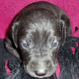 Cassie's black girl w/white star @ 3 weeks