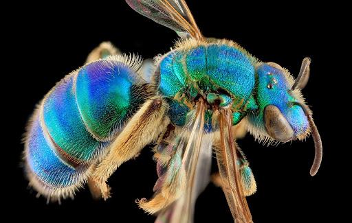 4-augochloropsis-sumptuosa-bee-1600.jpg