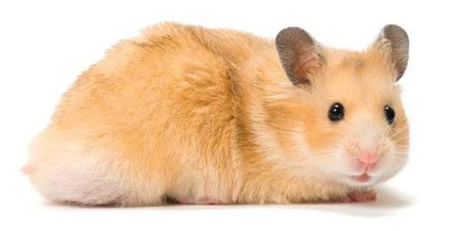 Hamster as Pet