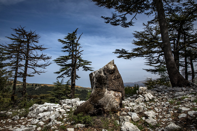 A Tannourine forest cedar that died from an insect infestation. Global warming is killing the cedar trees of Lebanon. Photo: Josh Haner / The New York Times